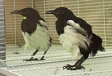 Сорока - черно-белая болтушка