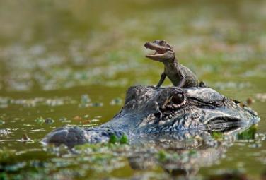 аллигатор с детенышем