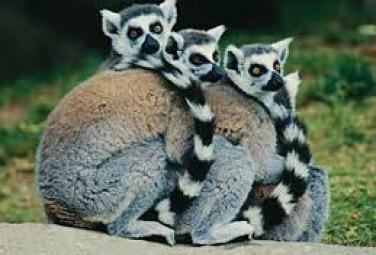 Лемур - любимец публики с Мадагаскара